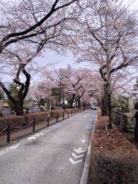Sakurawakagi