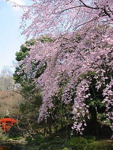 Sakurakoisikawa